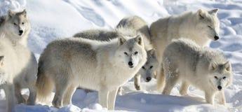 Wilki podczas zimy Fotografia Royalty Free