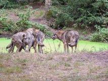 Wilki w wielkim outdoors zdjęcie royalty free