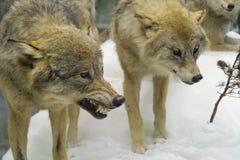 Wilki w zima lesie zdjęcie stock