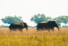 Wilking de deux éléphants dans l'herbe Photos stock