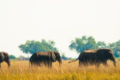 Wilking de deux éléphants dans l'herbe Images libres de droits