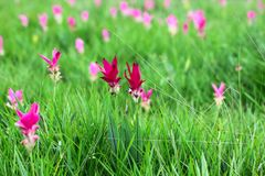 Pink Siam tulip in rainy season in Thailand Stock Photos