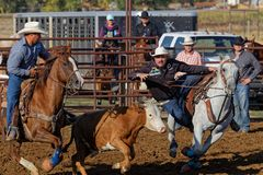 Will he catch the bull ? A Steer wrestling competition stock photo
