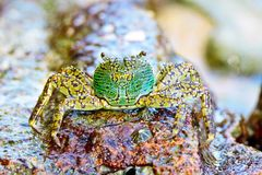 Mottled crab,the colorful crab on the rock. Stock Images
