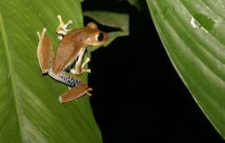 Will I make it that far. Frog on Banana leaves-Ecuador Stock Images
