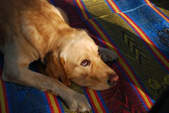 Will work for food. A dog begging for food on a colorful carpet Stock Photos