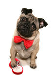Will you marry me pug Royalty Free Stock Images