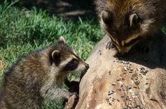 Will you share please? raccoons Royalty Free Stock Image