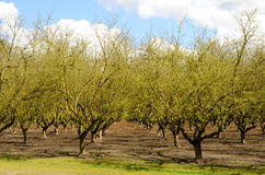 Willamette欧洲榛树 免版税库存照片