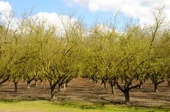 Willamette Filberts Zdjęcie Royalty Free
