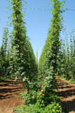 Willamette Hops Royalty Free Stock Photography