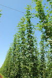 Willamette Hops Royalty Free Stock Photos
