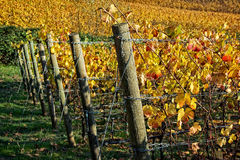 Willamette-Tal-Weinberg im Fall Lizenzfreie Stockfotos