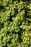 Willamette Valley Oregon hops Stock Photos