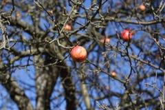 Willd Apfel Lizenzfreies Stockbild