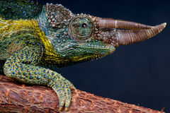 Willegensi's Jackson's chameleon Royalty Free Stock Photography