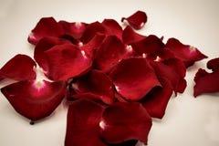 Willekeurig nam bloemblaadjes tegen witte achtergrond toe Groot voor presentat Stock Fotografie