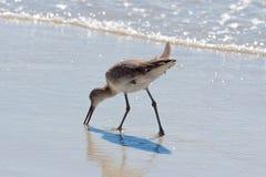 Willet στην παραλία Clearwater Στοκ Φωτογραφίες