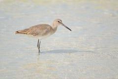 Willet στην παραλία (semipalmata Tringa) στοκ εικόνες με δικαίωμα ελεύθερης χρήσης