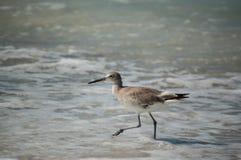 Willet на пляже Флорида Стоковая Фотография