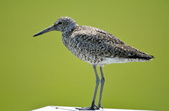 Willet Stockfotos