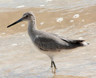 willet Royaltyfria Bilder