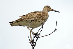 Willet. Standing in a tall tree Stock Photo