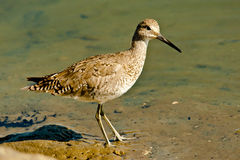 Willet Obrazy Royalty Free