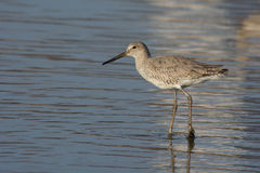 Willet photos libres de droits