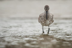 Willet Stockbilder
