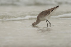 Willet Fotografia de Stock Royalty Free
