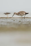 Willet Stockbild