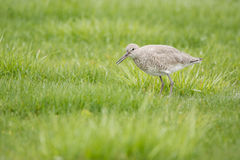 Willet photographie stock libre de droits