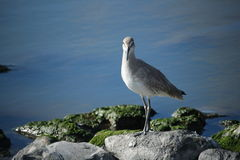 Willet photos stock