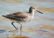 Willet on the Beach. A Willet in his winter plumage on a winter beach in Florida Royalty Free Stock Photos