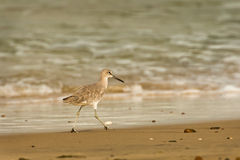 Willet on Beach Stock Image