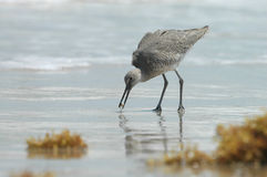 Willet On The Beach. A willet bird feeds on an aquatic snail found on the beach Stock Photography
