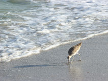 Willet Beach Bird. A willet looks for food on the beach in Florida royalty free stock photos