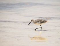 Willet on the Beach in Mexico Royalty Free Stock Images