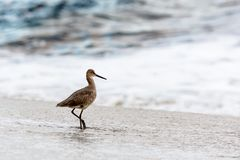 Willet on beach Royalty Free Stock Images