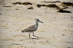 Willet on the Beach Royalty Free Stock Photography