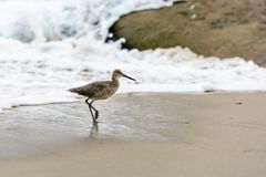 Willet on beach Stock Photography