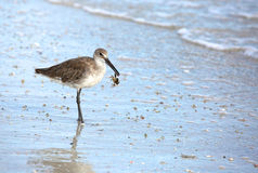 Willet bird on the beach with a crab in it`s beak Royalty Free Stock Photo