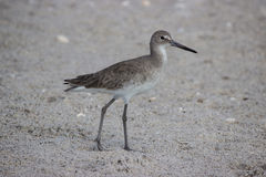 Willet Bird on Beach Royalty Free Stock Image