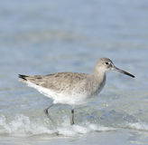 Willet Bird Royalty Free Stock Photo