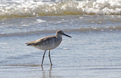 Willet Bird Wading in Ocean Surf Royalty Free Stock Images