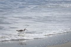 Willet bird walking and hunting on Florida Beach Stock Photos