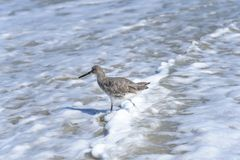 Willet bird walking and hunting on Florida Beach Royalty Free Stock Image