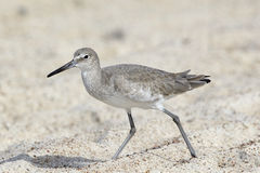 Willet Bird Walking in the Sand. Willet on Beach with feet in the sand Stock Image