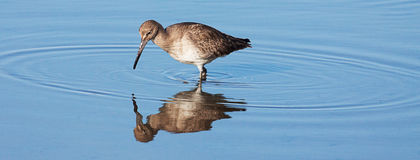 Willet bird in water with reflection Stock Photos